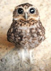 Curious-little-owl-s