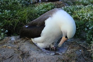 albatrosschick