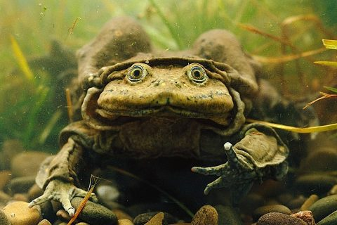 titicaca-water-frog-s