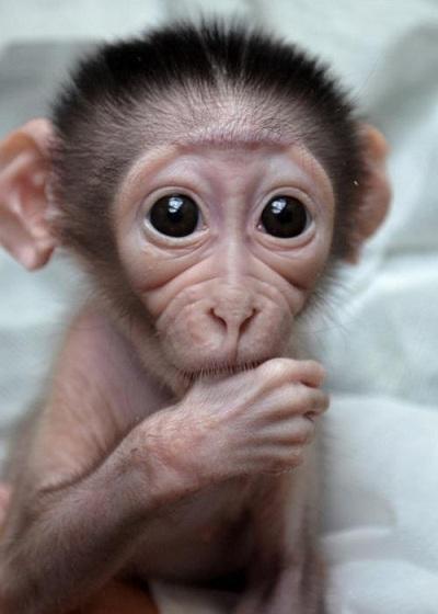 lil-monkey