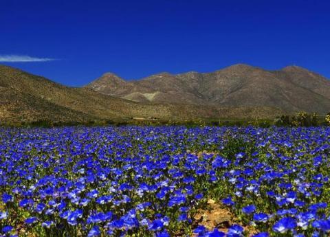 blue-atacama-blooms-s