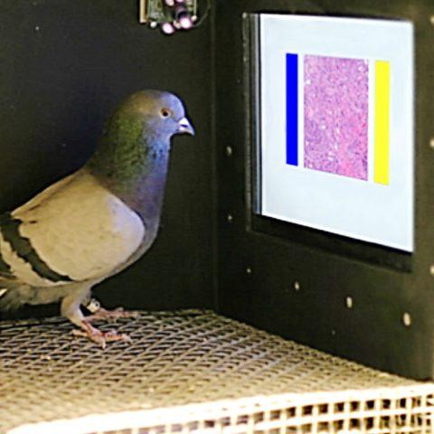 Dr-pigeon