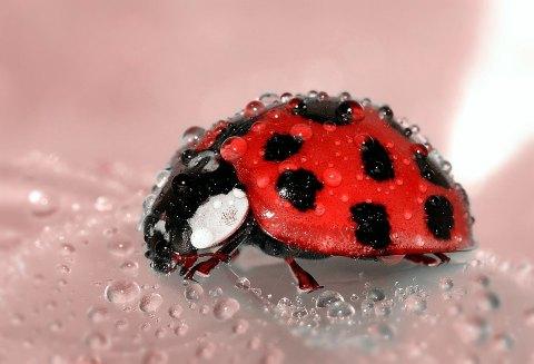 ladybug-s