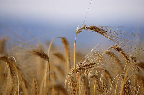 wheat-s