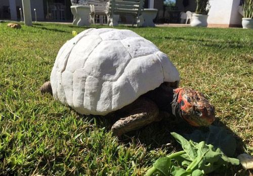 tortoise-3d-printed-shell-freddy-s