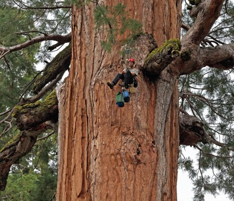 giant-sequoia-s